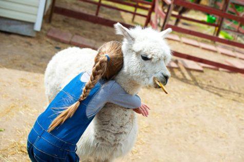 alpaca hug